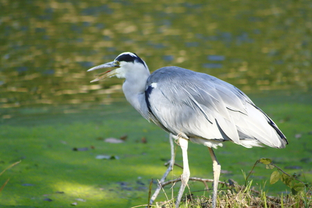 nobles: heron Stock Photo