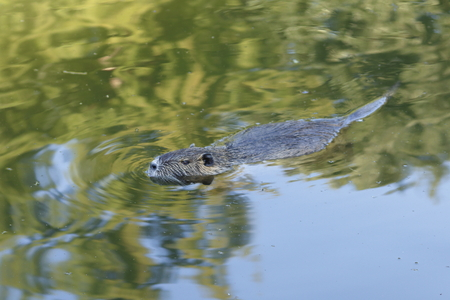 nutria: nutria, beaver rat floating in water