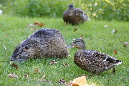 nutria: Duck and a nutria - friends on a meadow Stock Photo