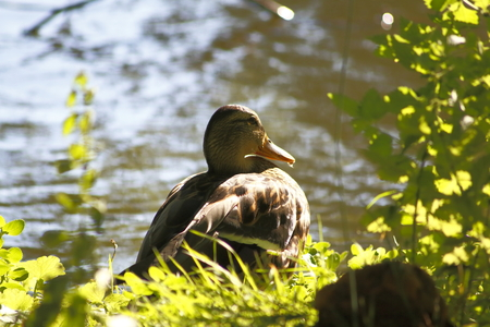 cackle: a duck at a little lake