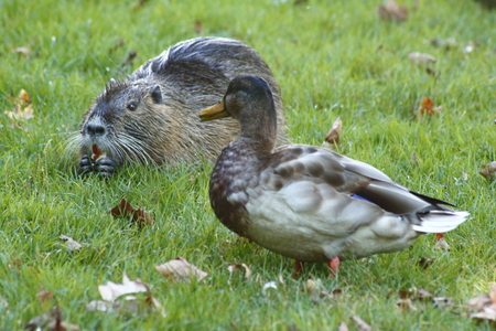 Duck and a nutria - friends on a meadow Stock Photo