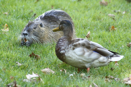 cackle: Duck and a nutria - friends on a meadow Stock Photo