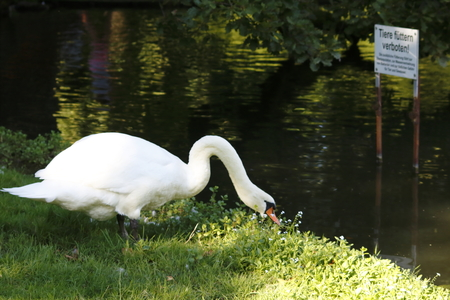 prohibited: swan with warning sign prohibited feed animals