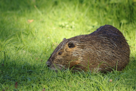 nutria: nutria, beaverrat on a meadow