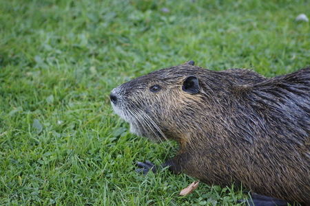 nutria: nutria, beaver rat on a meadow