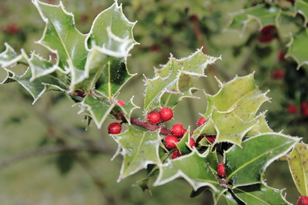 Ilex, holly in winter with hoarfrost and berries