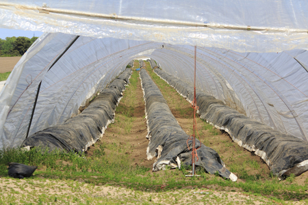 Asparagus cultivation under foil in the tent tunnel Stock Photo