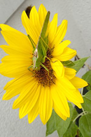 Green hay horse, green grasshopper foliage grasshopper on yellow sunflower Stock Photo