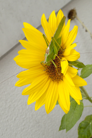 Green hay horse, green grasshopper foliage grasshopper on yellow sunflower Stock Photo