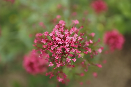 Red spur flower Centranthus ruber