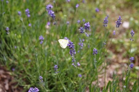 pieris: Lavender with butterfly, butterfly, cabbage butterfly Pieris brassicae