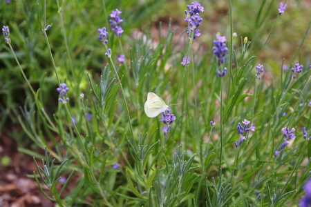 Lavender with butterfly, butterfly, cabbage butterfly Pieris brassicae