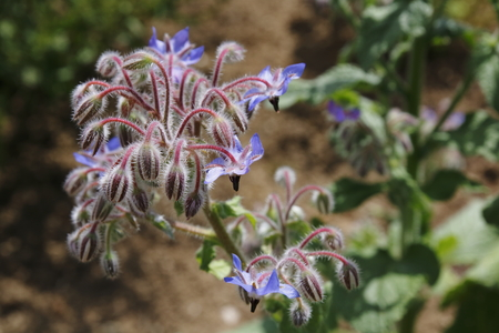 Borage, cucumber herb, blossom, Borago officinalis