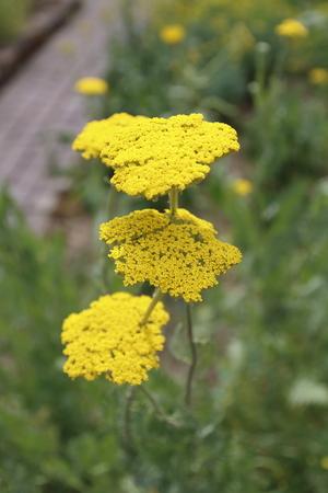 yarrow: Yellow yarrow, Achillea, clypeolata,