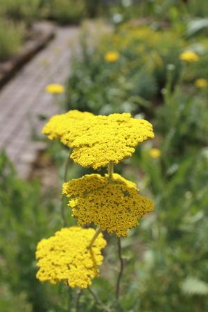 Yellow yarrow, Achillea, clypeolata,