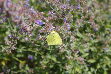 Brimstone butterfly, Gonepteryx rhamni, butterfly, yellow butterfly Stock Photo