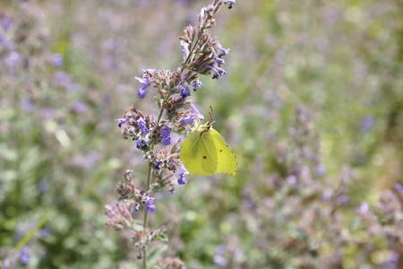 gonepteryx: Brimstone butterfly, Gonepteryx rhamni, butterfly, yellow butterfly Stock Photo