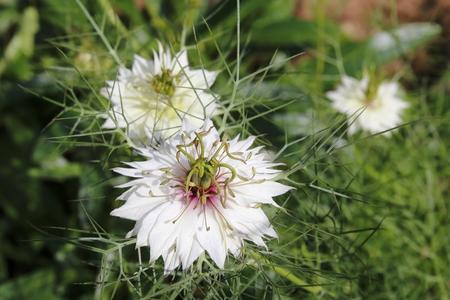 remedial: Fennel flower, late in the green, Nigella damascena