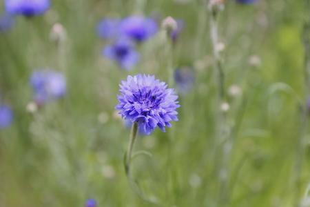 Cornflower on the meadow