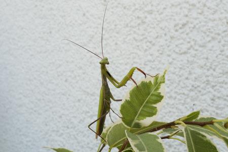 Praying mantis, insect of 2017 Reklamní fotografie