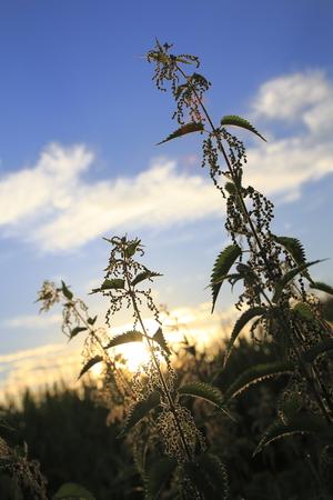 formic: Stinging nettle, Urtica in the sundown Stock Photo