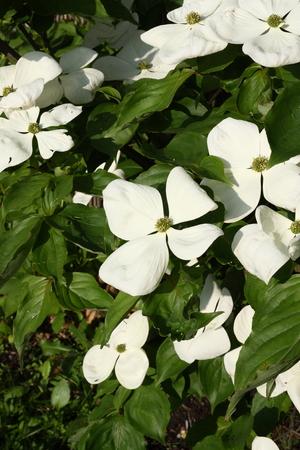 흰색 말미잘, Cornus Venus, 꽃송이 스톡 콘텐츠