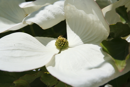 White dogwoods, Cornus Venus, blossom