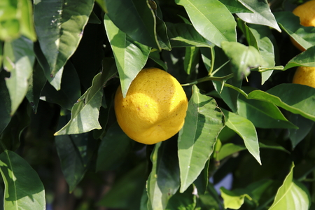 Lemon, lime, in the tree