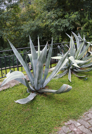 Agave plant in the garden