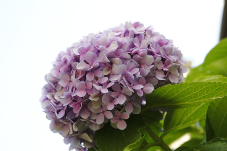 Hydrangea blossom, mauve, blue, pink, pink ones