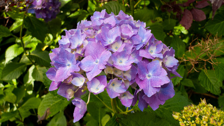 Hydrangea blossom in lilac, pink, blue