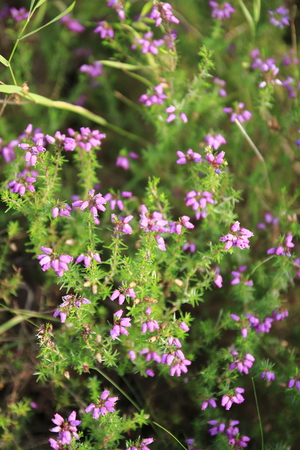 Irish moor at the small pink violet color ends little bell blossoms