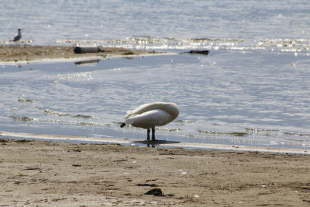 Swan cleans his feathers, on the beach of Domaso in Lake Como Stock Photo