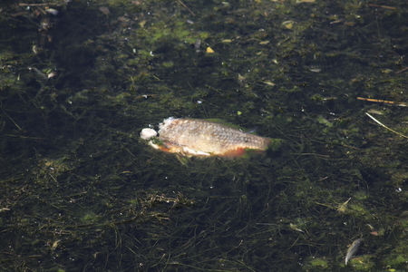 Fish without head swims in dirty water in the lake