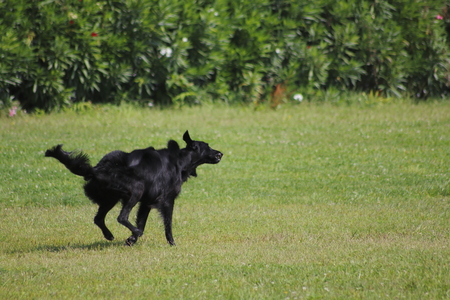 Labrador, black dog walks and jumps cheerfully and happily on a meadow
