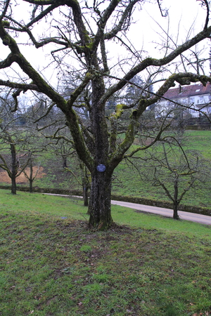 Apple tree, yellow Boskop with name plate in winter, in the public fruit property park in Baden-Baden