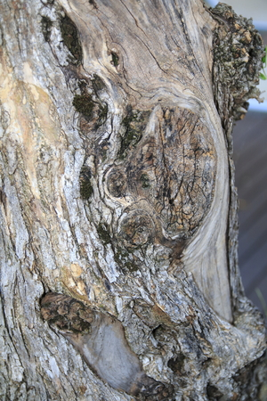 Very old gnarled olive tree trunk Stock Photo