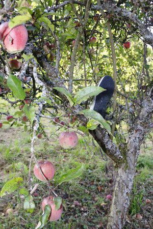 An old sneaker, hanging in an apple tree, covered the shoe for years and covered it with moss. Stok Fotoğraf