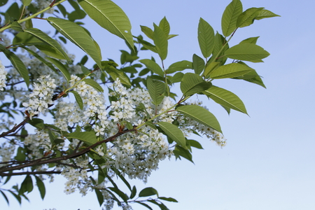 Grape cherry, on the branch, in white with green leaves in front of a blue sky