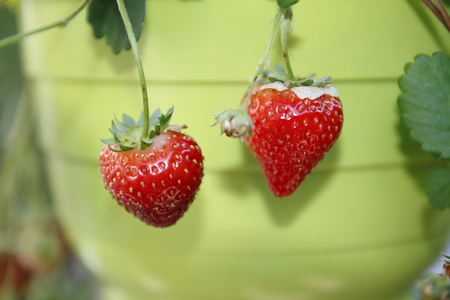 Strawberry fruit, fresh and red, freshly harvested from a hanging basket Stock Photo