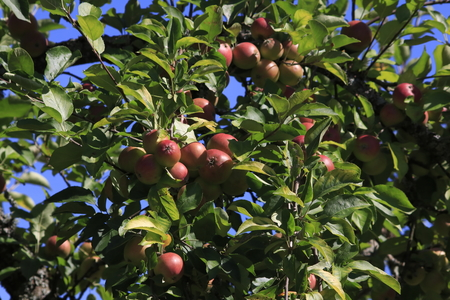 Boskop apple, in large quantity, hanging from a tree, just before harvesting