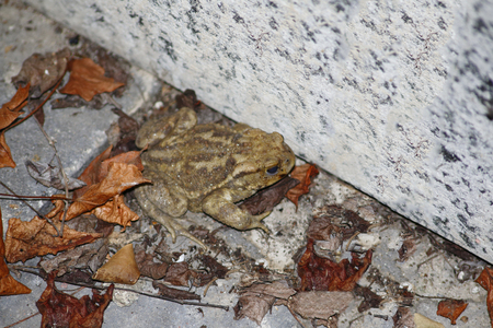 Toad, common toad sits on a stone wall in foliage Stockfoto