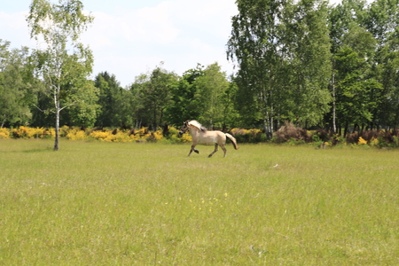 Horses running across the fields in the sand dunes, a nature reserve in Baden-Baden Sandweier 写真素材
