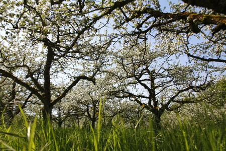 Apple blossom, blossom on the apple tree in the public fruit estate Baden-Baden Lichtental