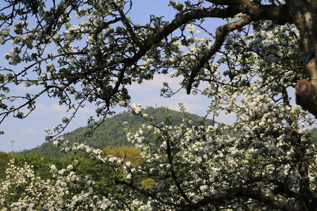 apple blossom, blossom in the public fruit estate Baden-Baden Lichtental, with a view of the local mountain Merkur Imagens
