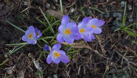Mauve, extremist violet colored crocuses, flower carpet on a meadow