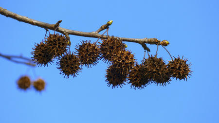 Plane tree hedgehog fruit, hanging on a branch, with buds in spring