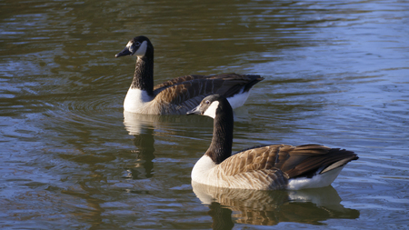 Canadian goose swims on a lake in the sun