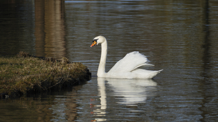 white swan, swims on a lake, and warms himself in that sun itself