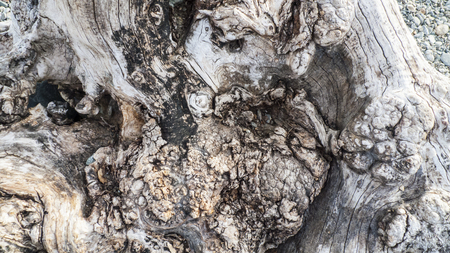 Age gnarled tree, olive tree, with cartilage, gristle and knotholes